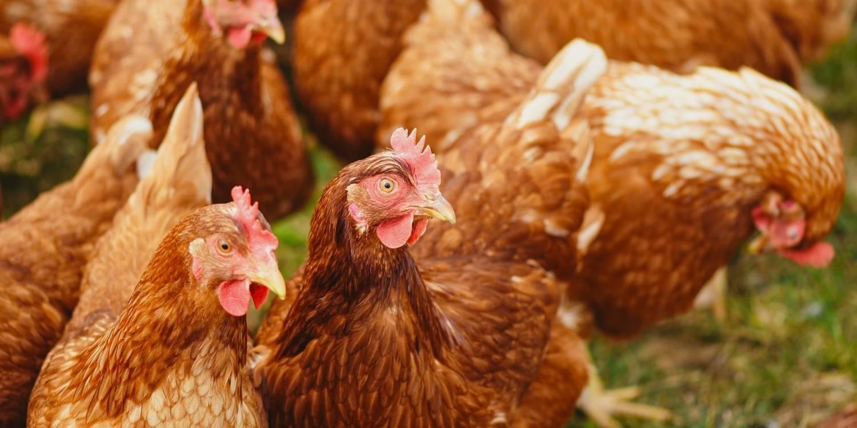 ESTO FUE EN 2019: VIAJEROS de turismo rural y gentes que se quejan del ruido de los gallos 2